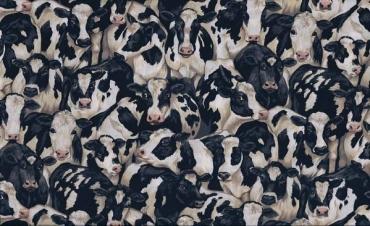M 425 x  1 vaches, Kèhe, cows